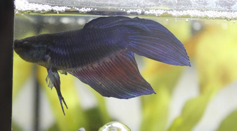 Problème nageoire & betta qui tombe au fond de l'aquarium Img_7710
