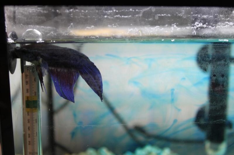 Problème nageoire & betta qui tombe au fond de l'aquarium Img_8212