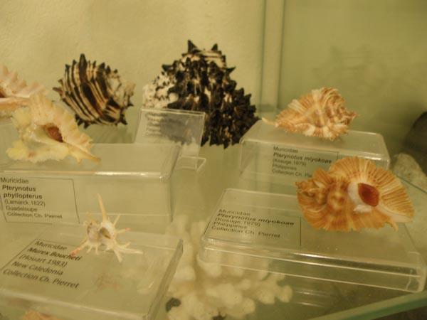 Musée du coquillage de Raiatea - Page 3 Photo_26