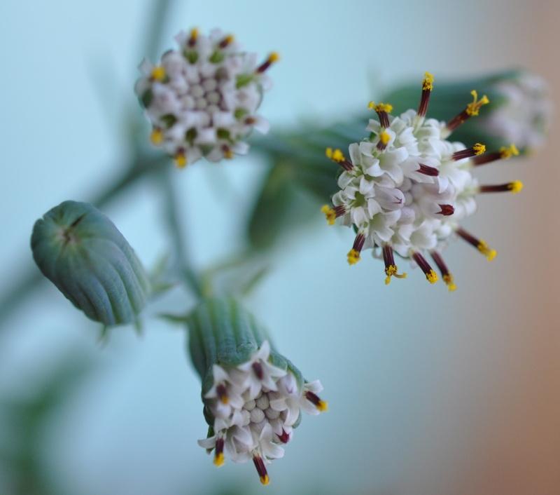 Senecio articulatus 00416