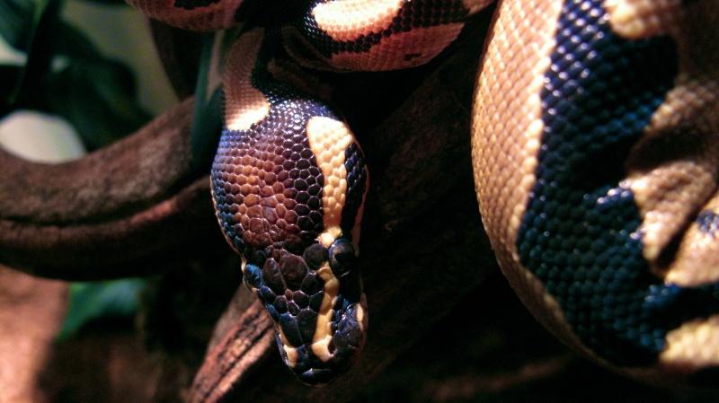 Mon Python Régius Img_2411