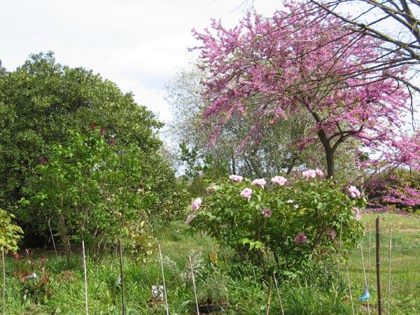 Les pivoines arbustes _piv-p10