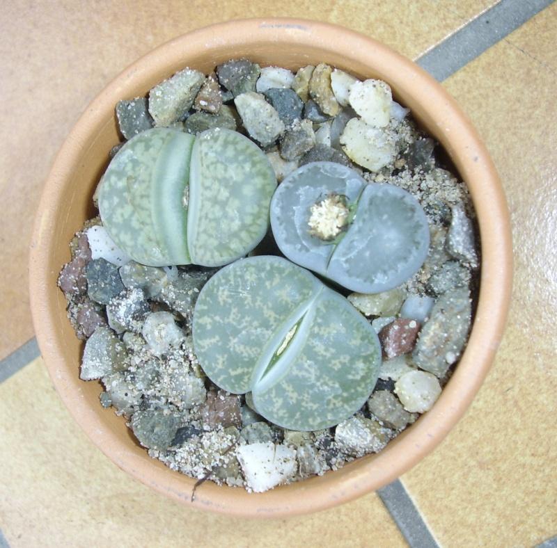 Aizoacées : petite présentation de nos plantes Lithop12