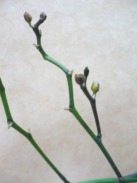 Phalaenopsis: ma colection P1010910
