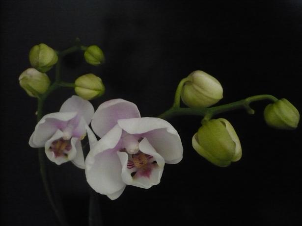 Phalaenopsis de Ptitechipinou - Page 3 P1030810