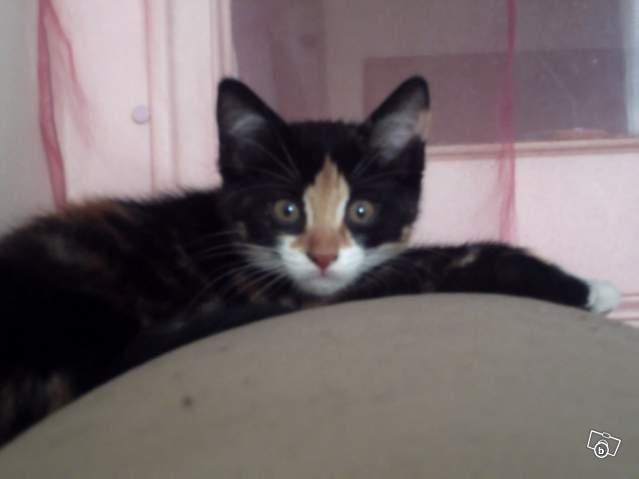 Urgent perdu shelby une petite chatte 31163810