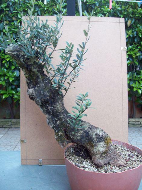 Altro olivo... Olivos11