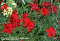 "Dianthus deltoïdes ""Albus"" Untitl14"