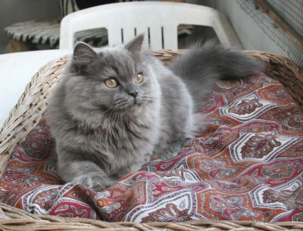 Le British Shorthair & le British Longhair 71147110