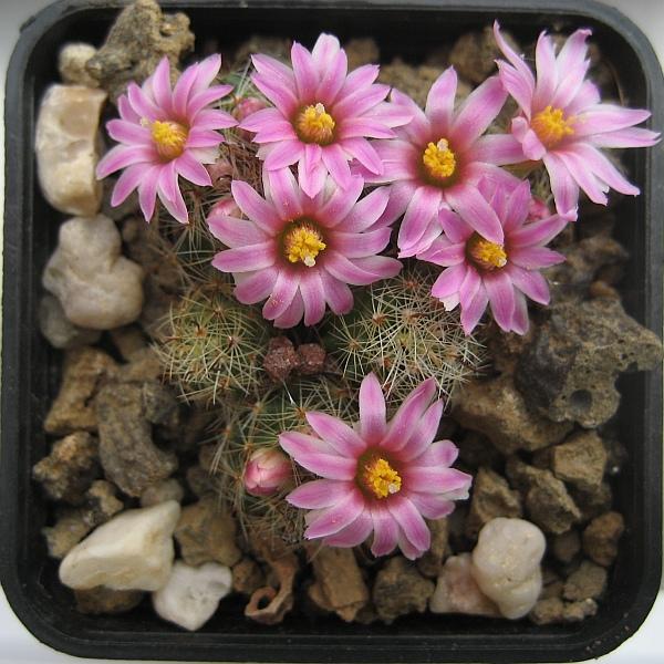 Mammillaria tepexicensis ML186 Mammil11
