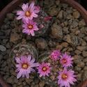 Mammillaria tepexicensis ML186 Mammil10