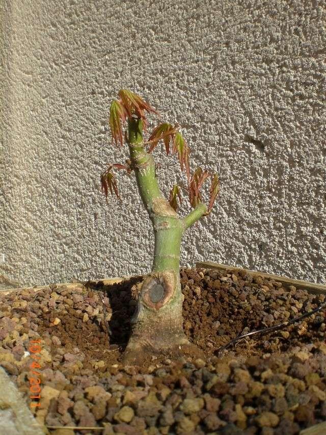 sergio - Acer palmatum Cimg0017