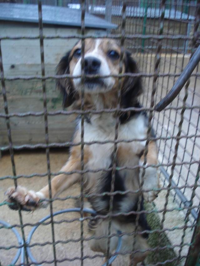 SOTHIS, femelle type beagle/épagneul, 6 ans (77) Dsc07431