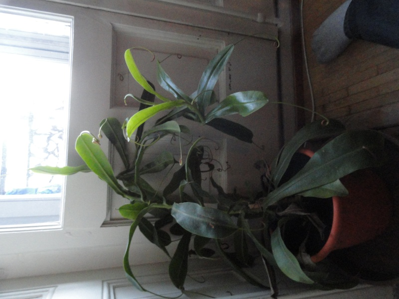 Mes plantes carnivores Dsc00410