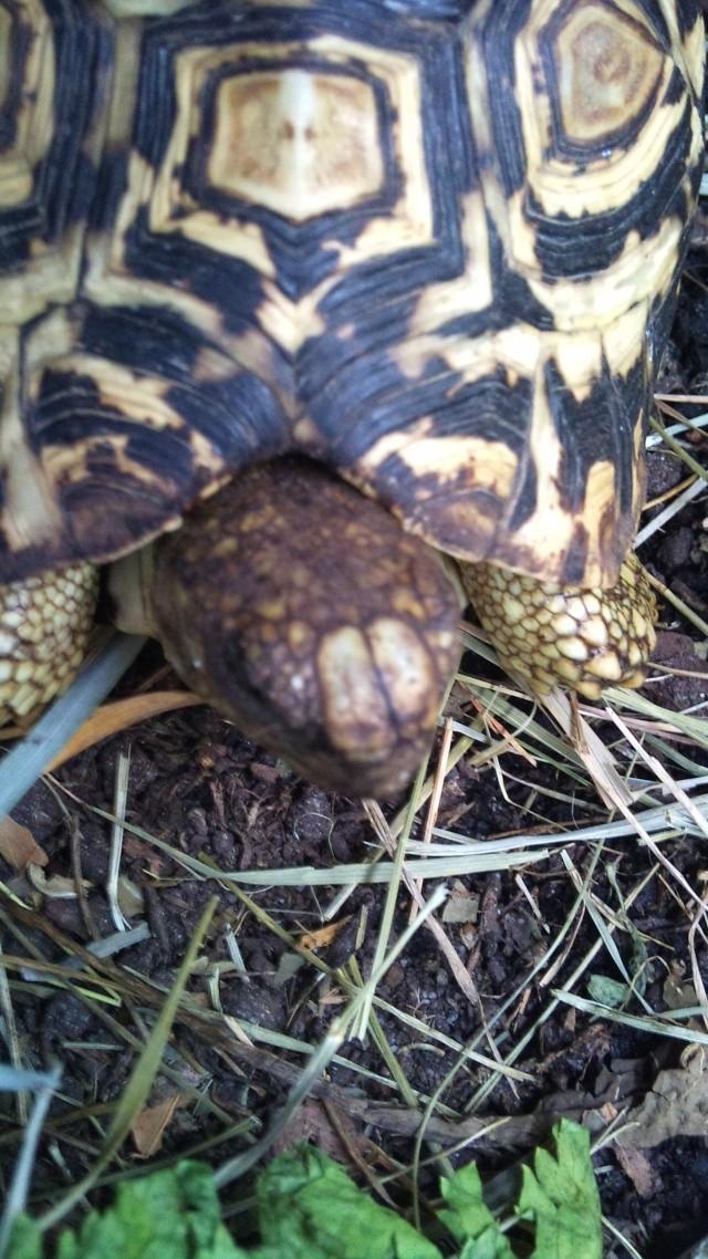 Ecailles supra-nasales chez S. pardalis 2010-126