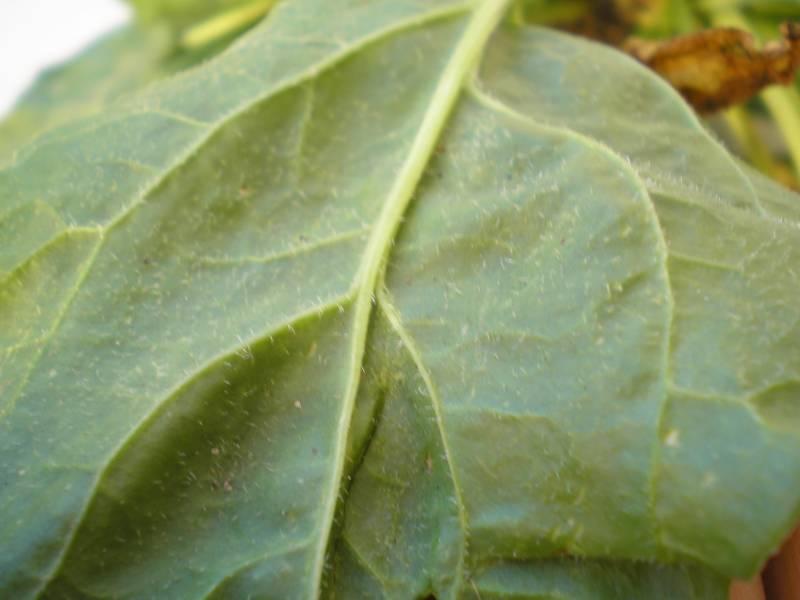 Bette maritime / Beta vulgaris subsp maritima Feuill12