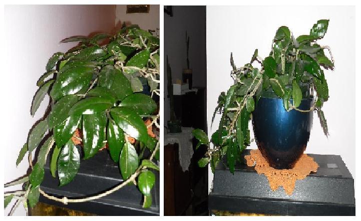 GRAINS D'HIBISCUS Plante23
