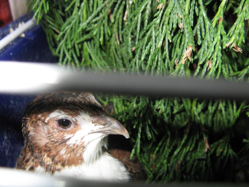 aménagement de cages d'hiver pour cailles reproductrices Img_4421
