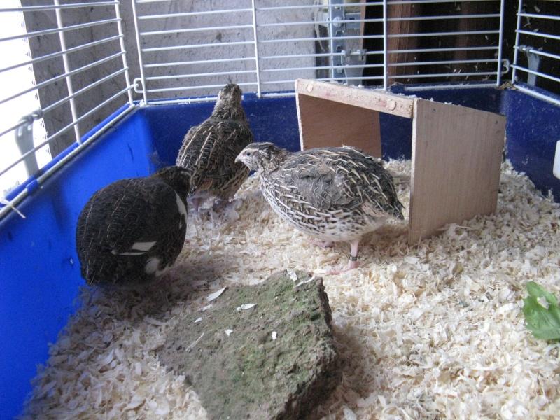 aménagement de cages d'hiver pour cailles reproductrices Img_4422