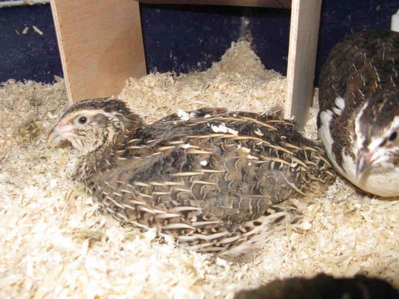 aménagement de cages d'hiver pour cailles reproductrices Img_4423