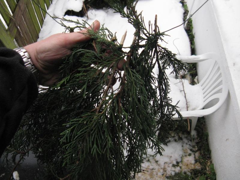 aménagement de cages d'hiver pour cailles reproductrices Img_4426