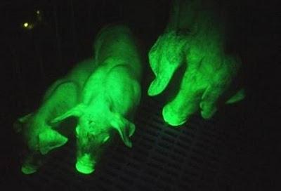 grünleuchtende Schweine (Experiment) 52052410