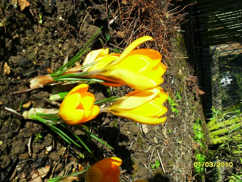 Crocus 2010-2011 Photo_12