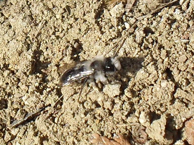 abeilles solitaires Photo_41