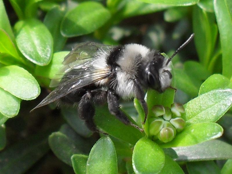 abeilles solitaires Photo_42