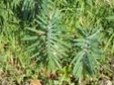 Euphorbe taupe / Euphorbia lathyris Dsc00012