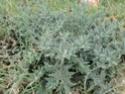 Chou commun / Brassica oleracea Dsc00014