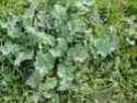 Chou commun / Brassica oleracea Dsc00111