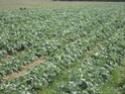 Chou commun / Brassica oleracea Dsc00112