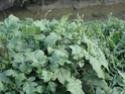 Chou commun / Brassica oleracea Dsc00113