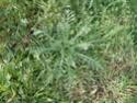 Chou commun / Brassica oleracea Dsc00114