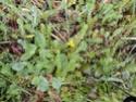 Chou commun / Brassica oleracea Dsc00117