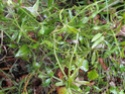 Chou commun / Brassica oleracea Dsc00118
