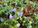 Chou commun / Brassica oleracea Dsc00120