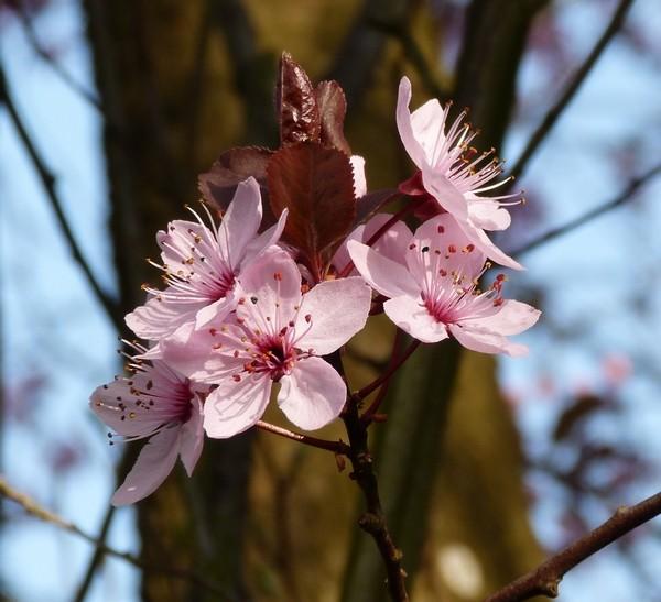 Prunus P1000711