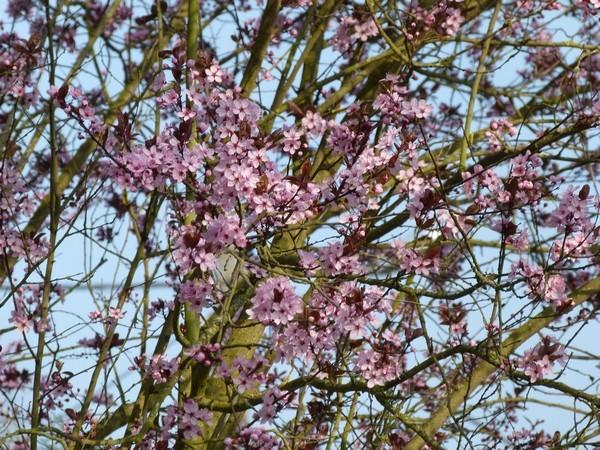 Prunus P1000712