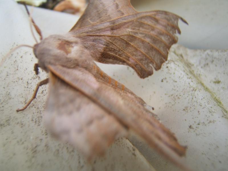 [Laothoe populi]Identification... Dscf4814