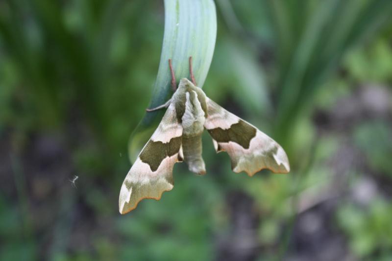 [Mimas tiliae]quel est ce papillon ? Img_1611