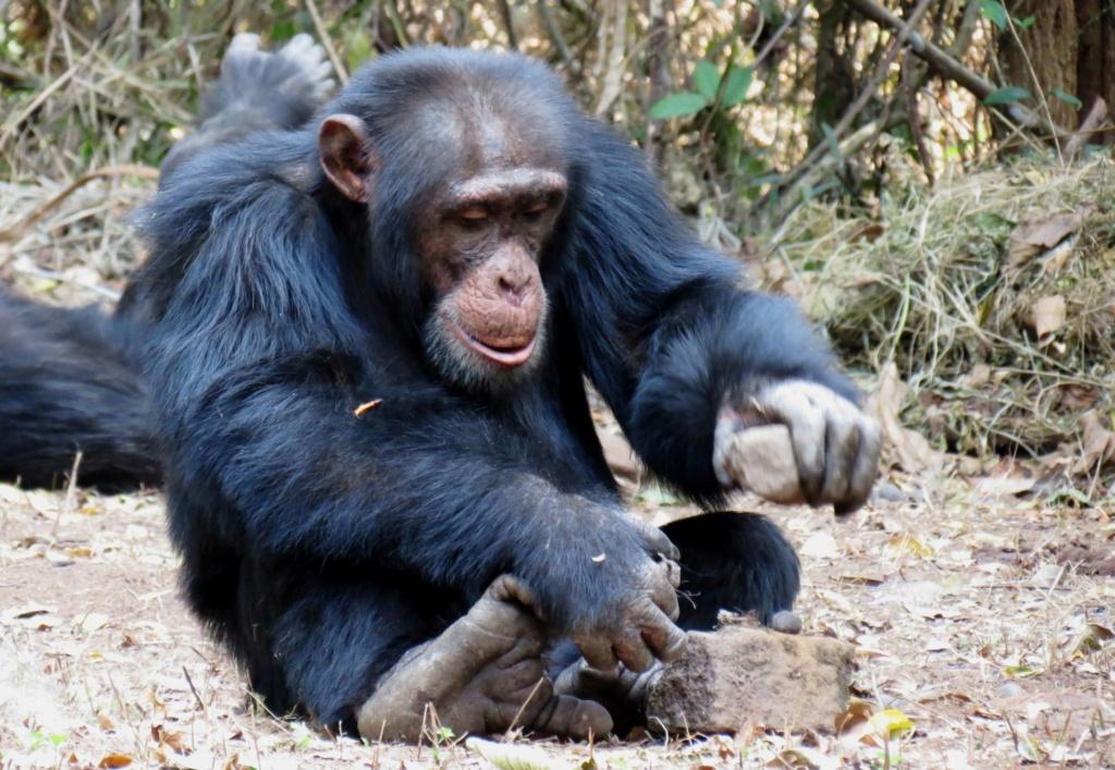Chimpancés: En grupos de estos simios transmiten 31 tradiciones. Enseñan nuevas habilidades. 15518810