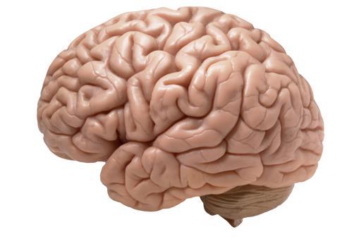 Cerebro,  neurociencia. Estudio  histórico sobre maduración  y crecimiento cerebral. Adobes11