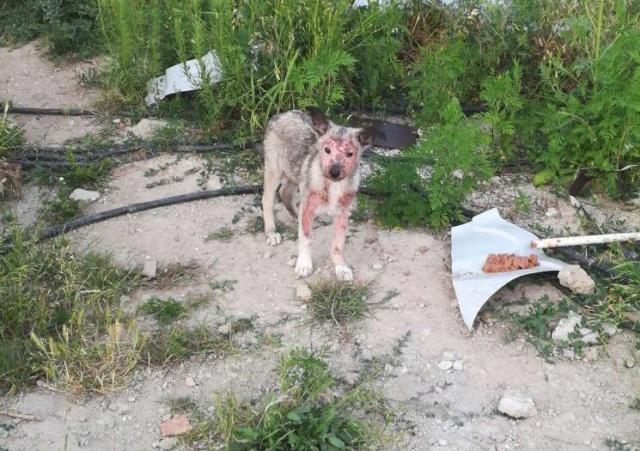 SMOKEY - femelle QUASIMENT AVEUGLE de taille moyenne, née en mai 2018 - CHEZ CARMINA A BUCAREST 44324812