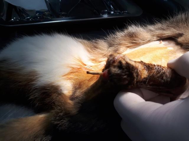 SOLSTICE - gentille chatte femelle tripattes - née environ avril 2016 - Adoptée par Somaye (Belgique) 52417010