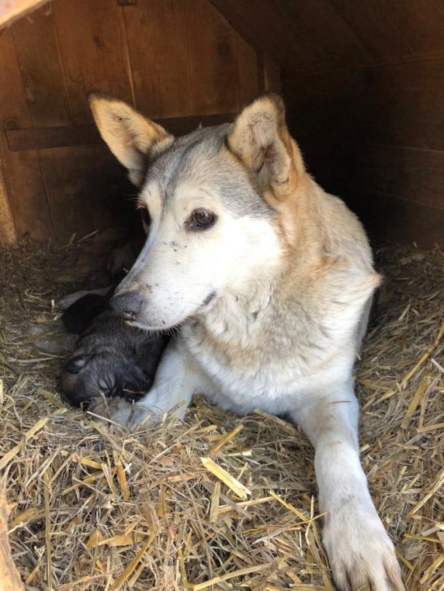 EUROPA - Magnifique femelle - mère courageuse sauvée de la mort - Taille moyenne - née environ en 2014 - Chez Carmina à Bucarest 55526810