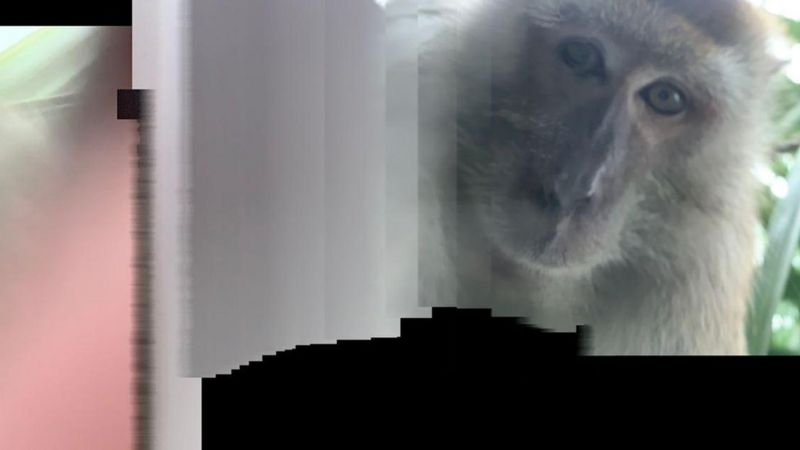 A Malaysian man 'finds' monkey selfies on lost phone _1143811