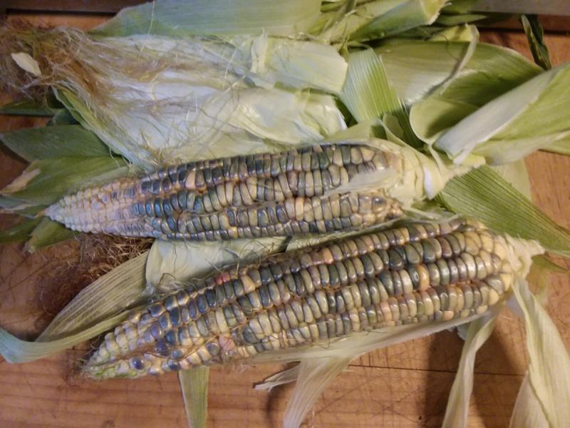 Corn Growing - Page 3 Oaxaca10