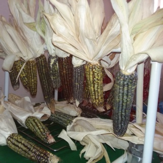 Corn Growing - Page 3 Oaxaca13